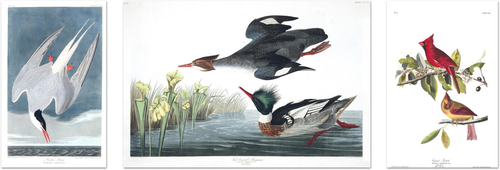 Custom Framing Bird Prints Audubon